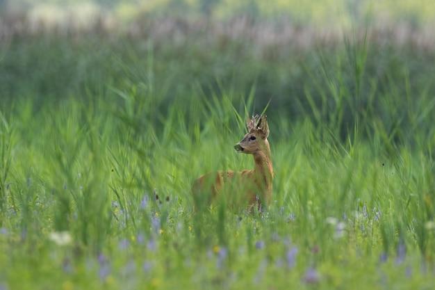 Capriolo in piedi nella lunga prateria nella natura estiva