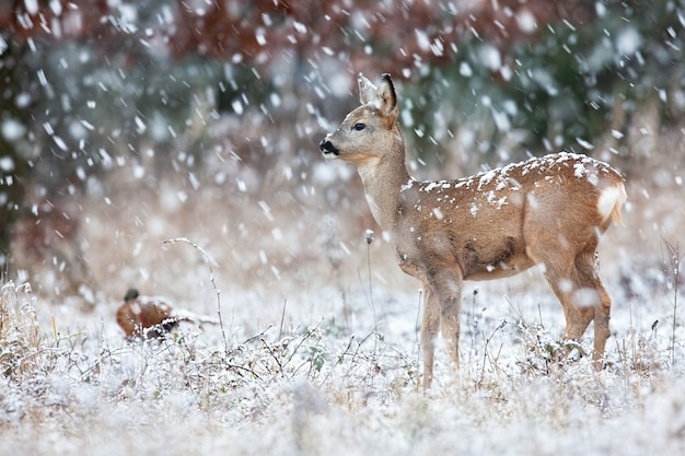 Capriolo in piedi sul prato in tempesta di neve in inverno