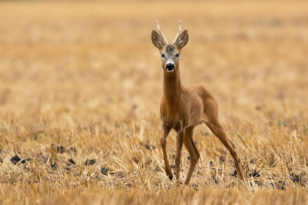 Capriolo che cammina su terreni agricoli asciutti nella natura estiva