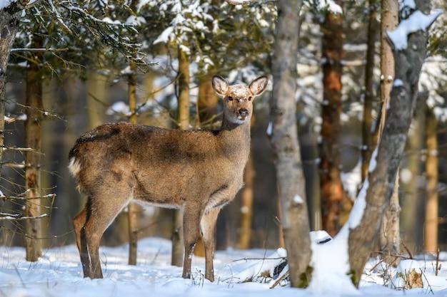 Capriolo nella foresta invernale. animale in habitat naturale. scena della fauna selvatica