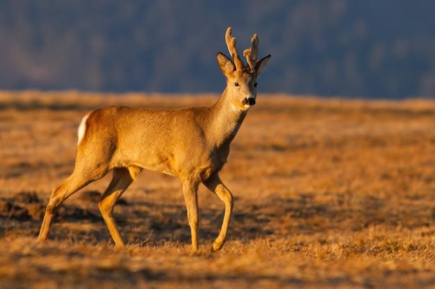 Capriolo con corna in velluto che cammina sul pascolo in primavera all'alba Foto Premium
