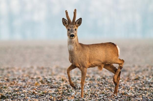 Capriolo con corna di velluto che camminano sul campo in inverno