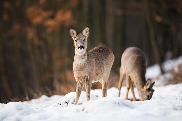 Caprioli che si nutrono di prato nella natura invernale