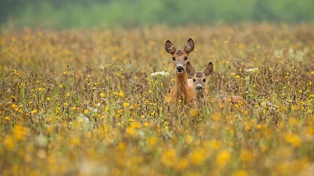 Caprioli in piedi in fiori di campo in estate