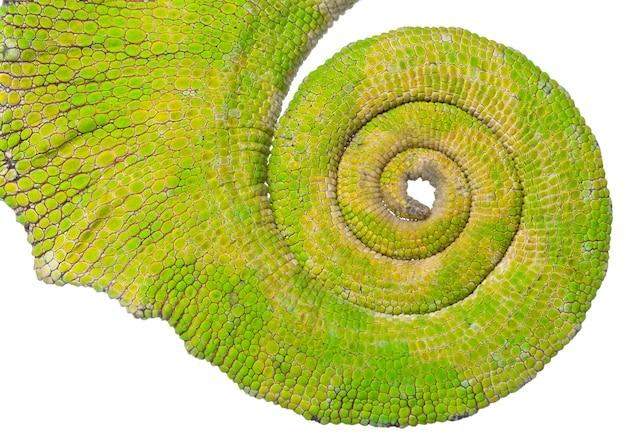 Coda arrotolata di un camaleonte a quattro corna - chamaeleo quadricornis