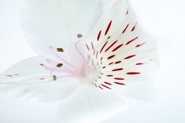 Sfondo botanico floreale romantico con petali a strisce di fiori di alstroemeria