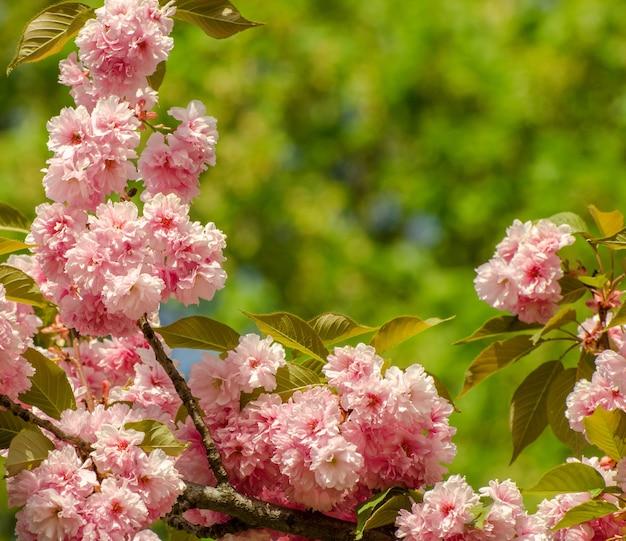 Matrimonio romantico o sfondo carta regalo con fiori di sakura in primavera. bellissimi fiori rosa delicati sotto la luce del sole