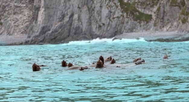 I leoni marini rookery steller. isola nell'oceano pacifico vicino alla penisola di kamchatka.