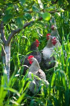 Gallo e polli. gallo e galline ruspanti.