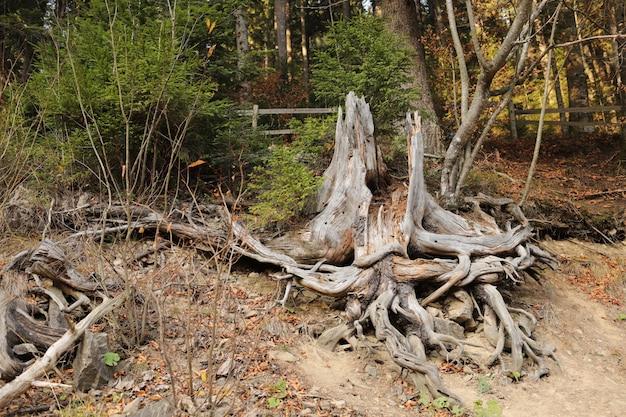Radice del grande albero dopo che è stato abbattuto un albero e scavato la radice.