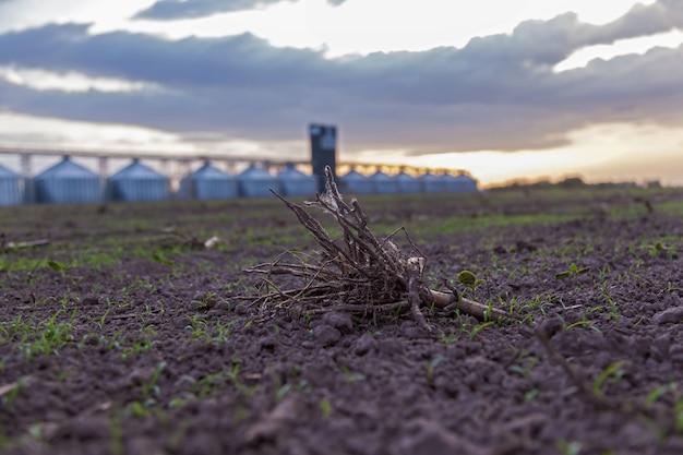 Radice di una pianta in un campo su uno sfondo al tramonto