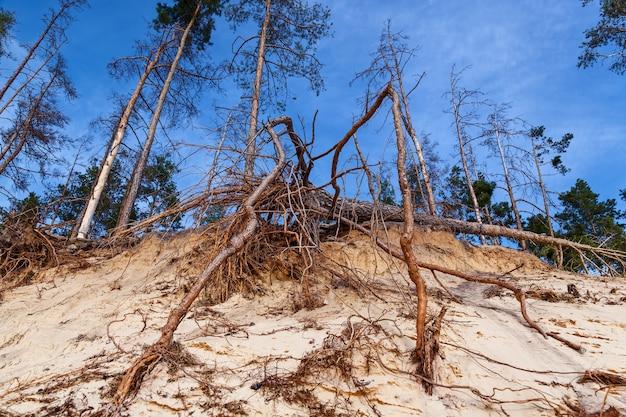 Le radici sono strappate dal terreno di un albero morto e secco caduto