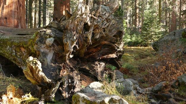 Radici della sequoia caduta, tronco d'albero gigante della sequoia nella foresta. pino grande sradicato, california, usa