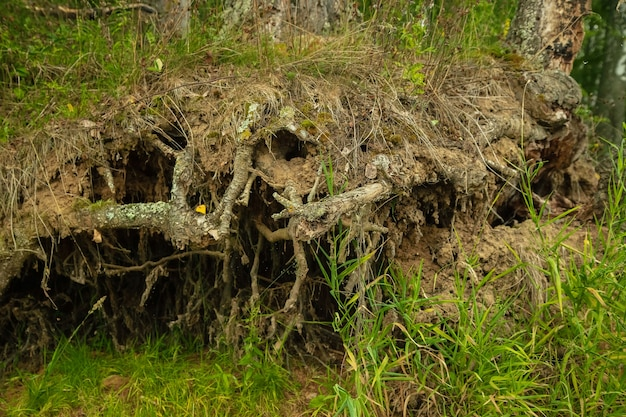 Radici di un vecchio albero potente sulla riva del fiume, paesaggio forestale estivo.