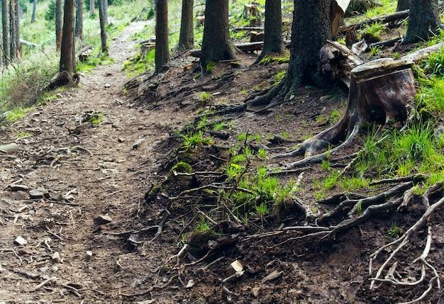 Radici degli alberi, primo piano nella foresta di estate
