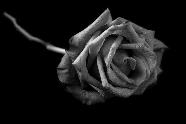 Rosa in bianco e nero.
