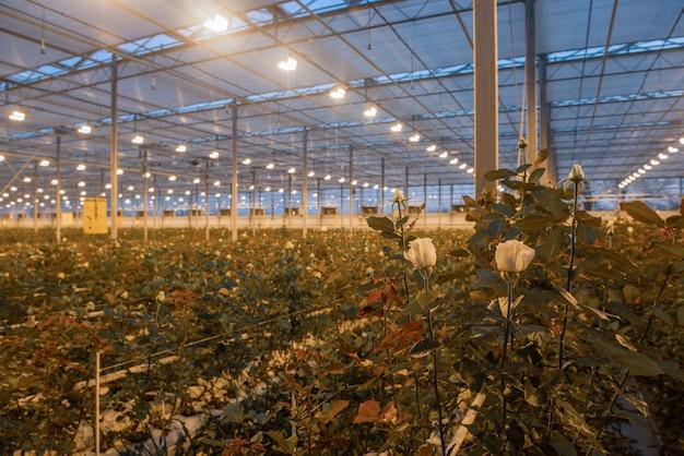 La rosa su uno sfondo sfocato in una serra con luce accesa la sera