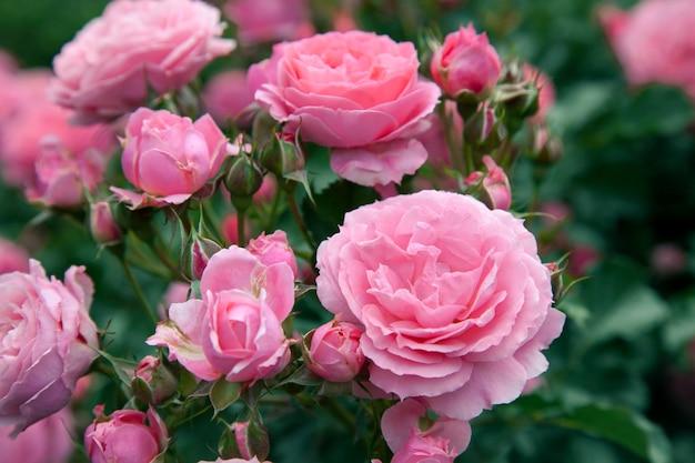 Cespuglio di rose con un sacco di rose rosa in fiore, soft focus. rose rosa in giardino. all'aperto.