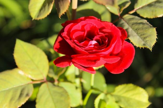 Rosa in giardino