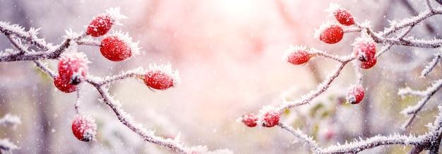Cespuglio di rosa canina con bacche rosse al mattino in condizioni di luce solare intensa, un po' di neve vola. sfondo di natale e capodanno