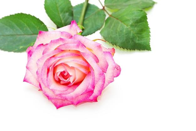Rosa isolata su sfondo bianco