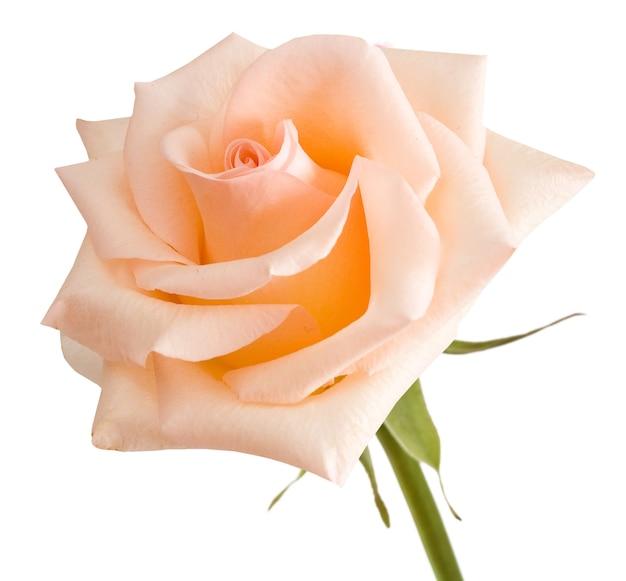Rose isolato su bianco