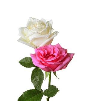 Rosa rosa rosa bianca isolata su bianco