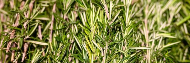 Mazzi dei rosmarini di erbe aromatiche che cucinano vicino del condimento.