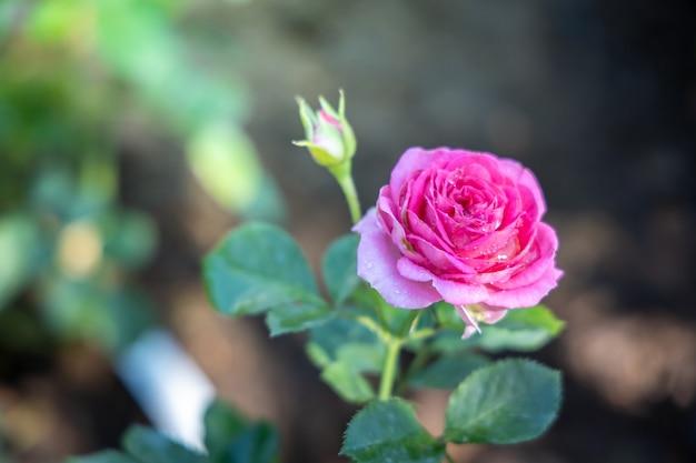 Rose in giardino, le rose sono bellissime con una bella giornata di sole.