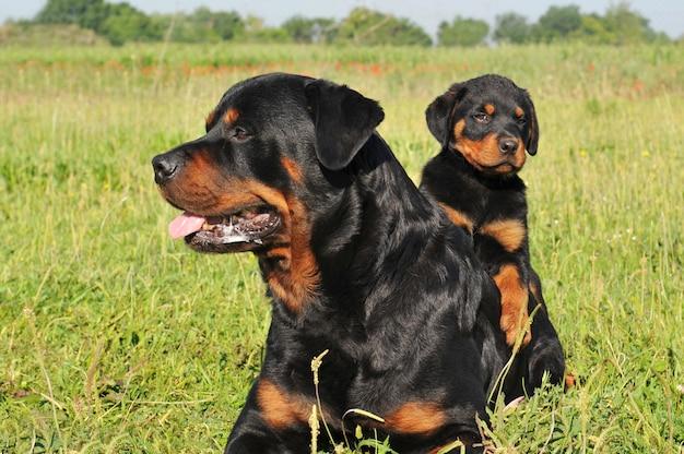 Rottweiler e cucciolo
