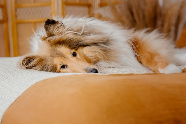 Il cane rough collie a casa cane dentro