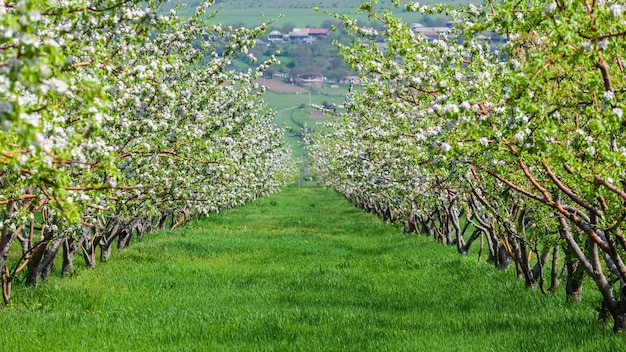 Fila di bella fioritura di mele decorative e alberi da frutto