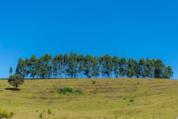 Fila di eucalipti in cima alla collina
