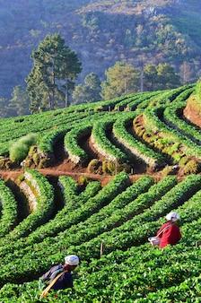 Fila della piantagione di tè verde in fattoria