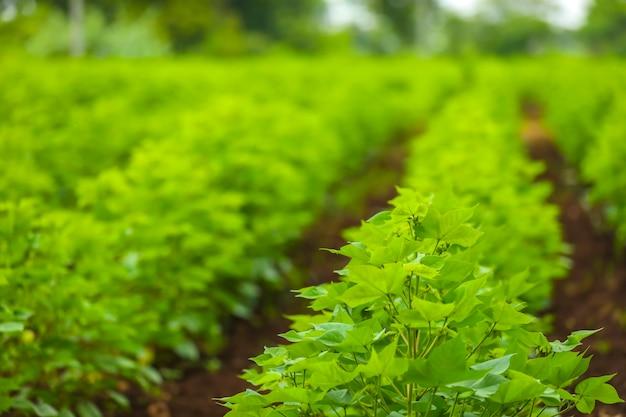 Fila di campo di cotone verde in crescita in india.