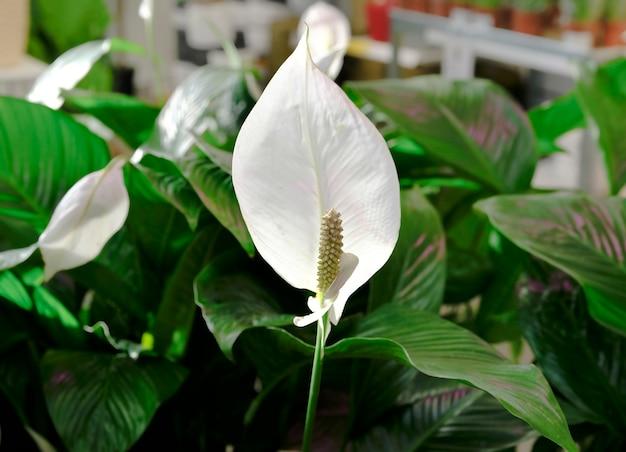 Fila di piante spathiphyllum in vaso in vendita nel negozio di giardino.