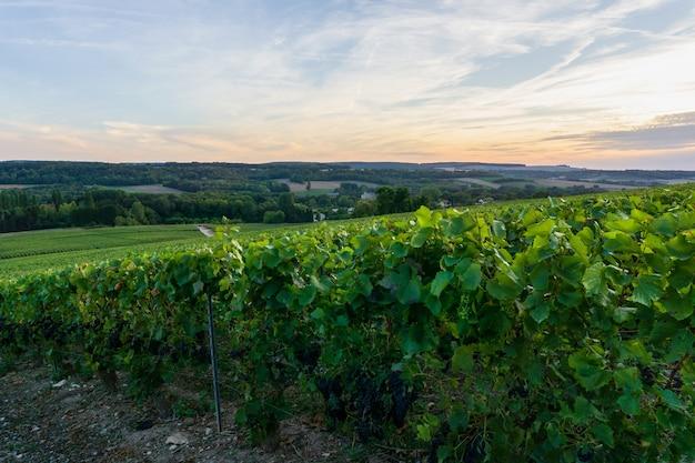 Fila di uva da vino nei vigneti di champagne a montagne de reims, reims, francia