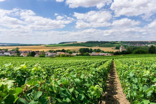 Fila di uva da vino nei vigneti di champagne