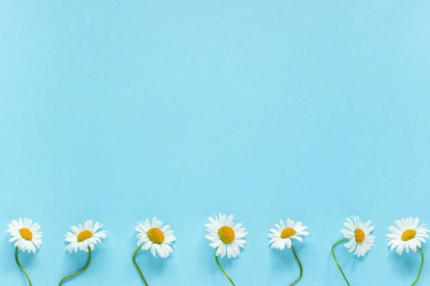 La fila delle margherite bianche delle camomille fiorisce sul fondo blu pastello della carta di colore