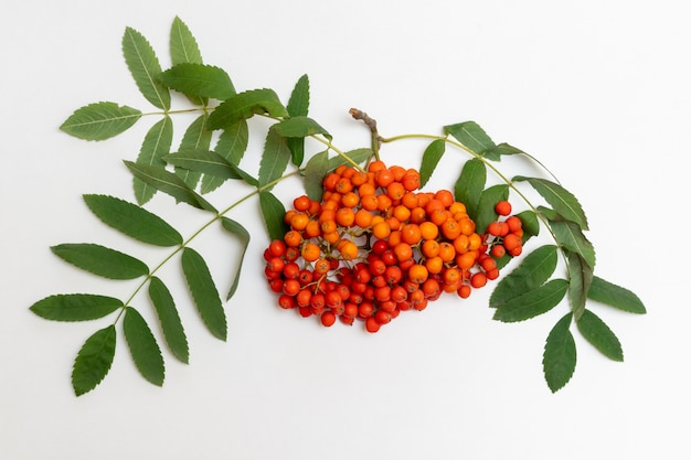 Ramo di sorba con bacche rosse e foglie verdi di ea su sfondo bianco, primo piano. bacche autunnali di cenere di montagna rossa o bacche di sorbo con foglie verdi per la decorazione