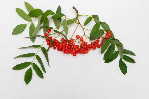 Ramo di sorba con bacche rosse e foglie verdi su sfondo bianco, primo piano. bacche autunnali di cenere di montagna rossa o bacche di sorbo con foglie verdi per la decorazione, sfondo