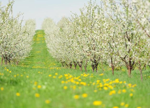 Filari di alberi di ciliegio in splendida fioritura su un prato verde
