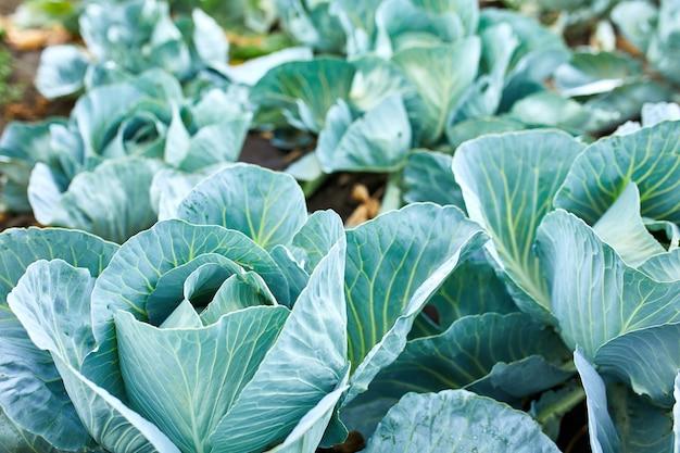Filari di piante di cavolo cappuccio fresche sul campo