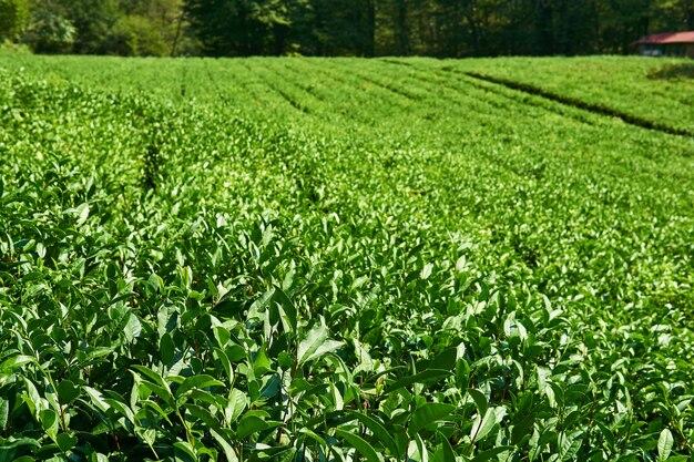 File di arbusti da tè in una piantagione in una giornata di sole, concentrati sulle piante anteriori
