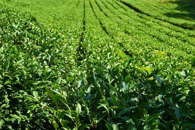 Filari di alberi da tè in una piantagione in una giornata di sole, concentrati sulle piante anteriori