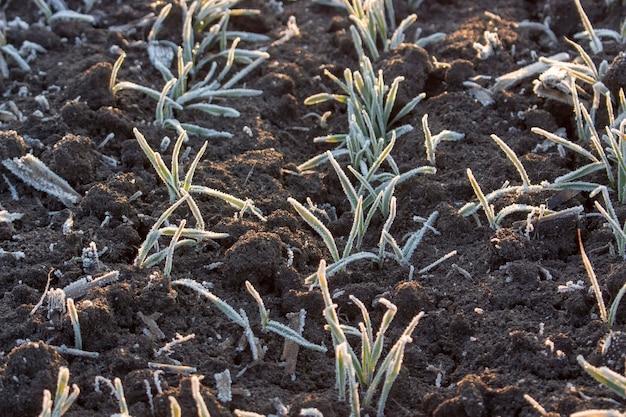 Le file di grano su terra nera sono ricoperte di brina. il gelo mattutino primaverile distrugge i raccolti di grano.
