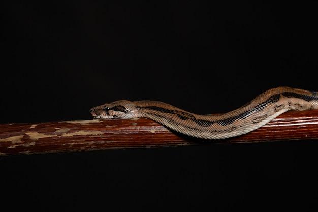 Royal python, o ball python python regius