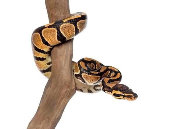 Pitone reale su un ramo, python regius, isolato su bianco