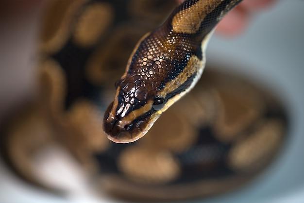 Pitone reale. il colore naturale è normale. serpente. natura selvaggia. sfondo bianco. studio.