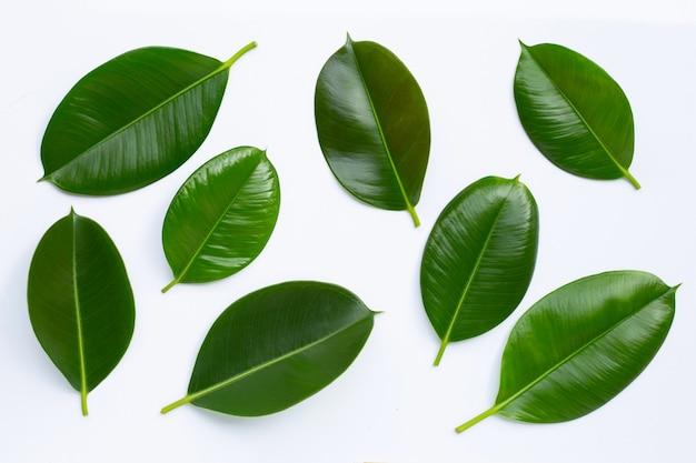 Foglie della pianta di gomma isolate. vista dall'alto